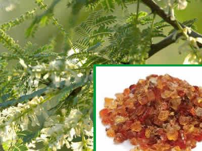 Acacia Senegal Kazapsstechco